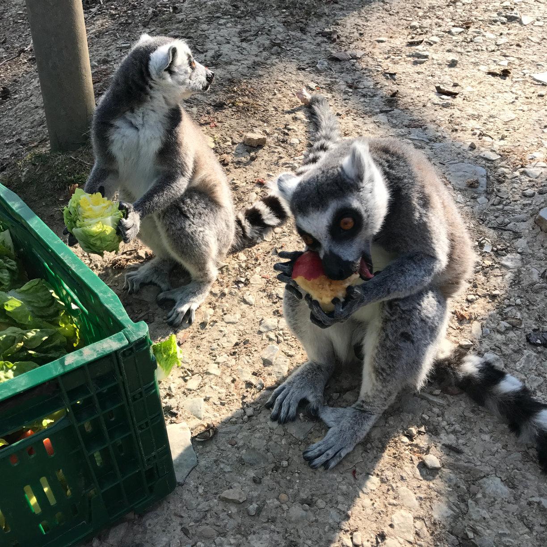 Fütterung im Affenwald Straußberg